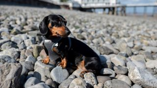 Dachshund on a beach
