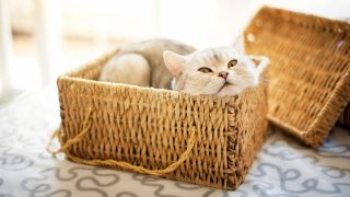 Cat sitting in a basket, one of 12 common cat behaviors