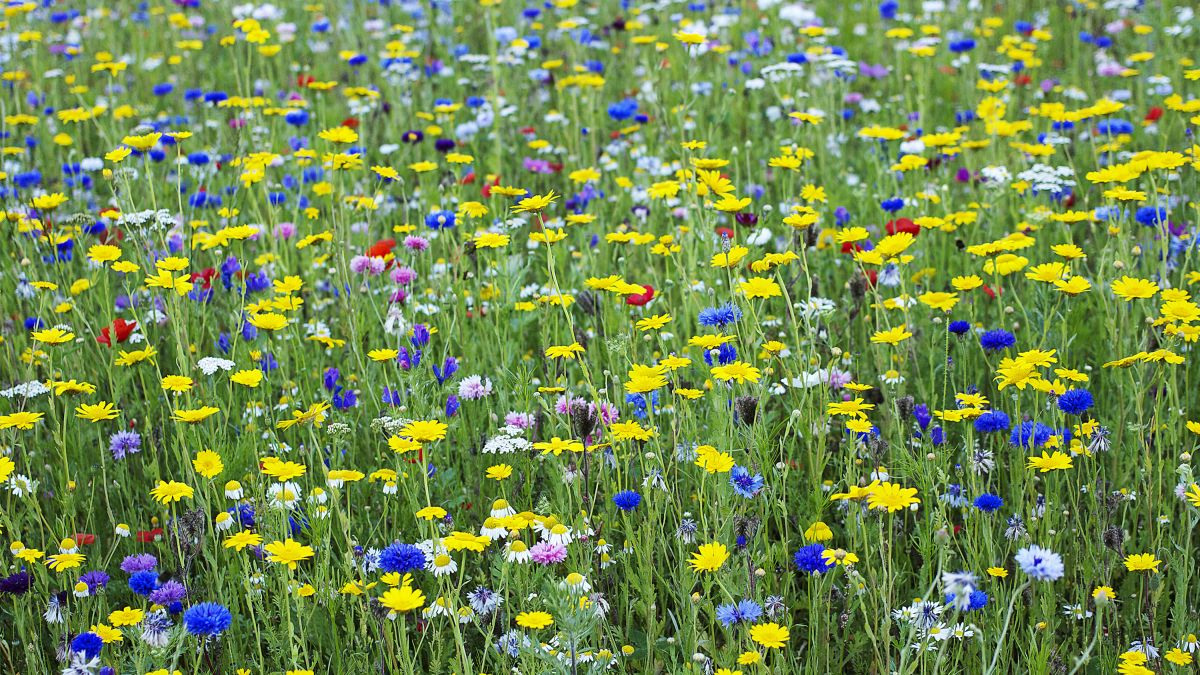 How to plant a wildflower meadow in your garden: try this alternative to lawns and borders