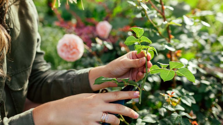 Gardener taking cuttings from roses for propagating plants