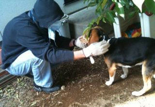 JEARS volunteer rescuing a beagle in Fukushima City, 50 miles from nuclear reactor.