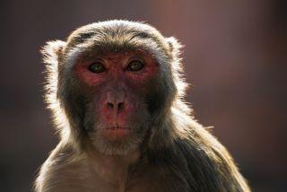 Rhesus macaque face.