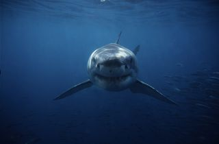 Photo of a great white swimming toward the camera in dark blue water.