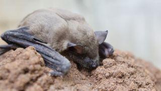 Lesser Asiatic yellow bat lying on a rock