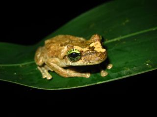 A treefrog (Osteocephalus heyeri) from the Amazonian rainforest.