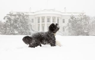 Bo the Obama dog