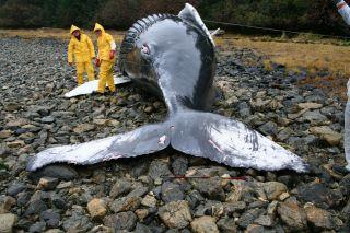nasa beached whale calf