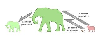 Evolution of body size in mammals. A mouse-to-elephant size change would take at least 24 million generations based on the maximum speed of evolution in the fossil record, according to the work of Alistair Evans and co-authors. Becoming smaller can happen