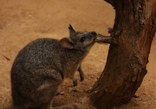 Tammar Wallaby, wallaby,