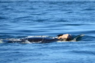 Baby orca pushed by its mom.