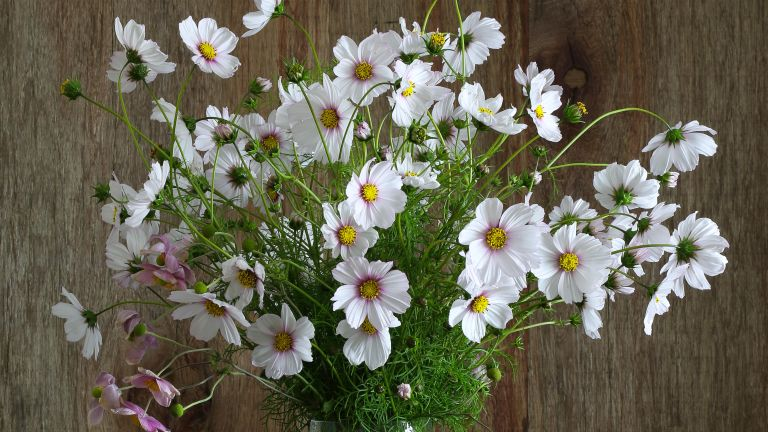 Cosmos flowers in a vase