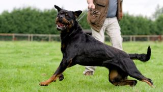 Dog aggression: A man holding an aggressive rottweiler on a leash