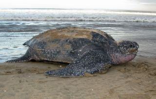 An Eastern Pacific leatherback turtle.
