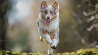 Farm Dog Breeds: Australian Shepherd