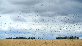 A locust swarm flies through a wheat field.