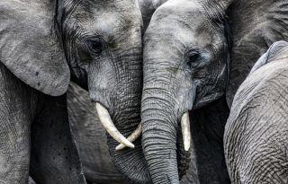 African elephants.