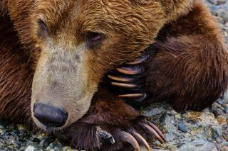 Photo of grizzly bear by Moose Peterson