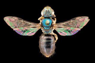 This female bee is Fijian bee species (Homalictus hadrander)