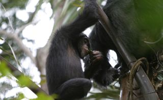 A juvenile chimpanzee uses a leaf sponge to drink palm wine in Guinea in West Africa.
