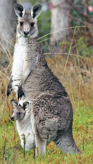 kangaroo mom and baby