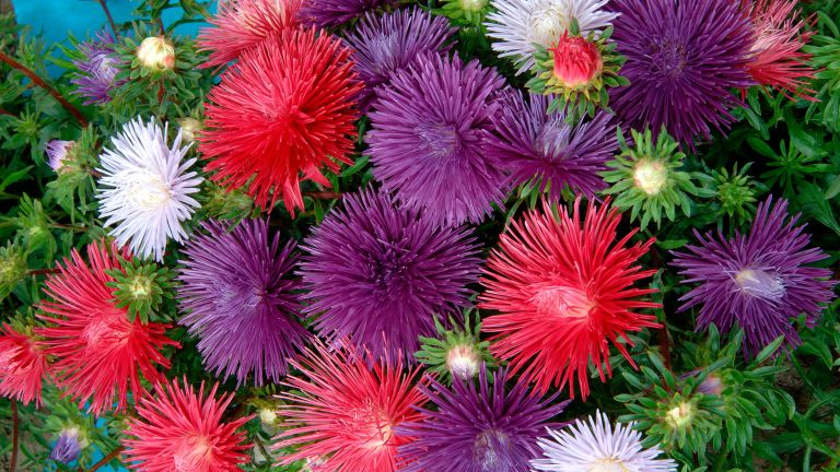 flower seeds to sow in April: aster