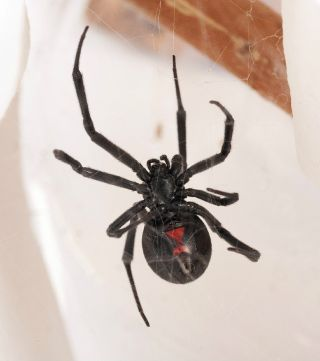 A western black widow, <em>Latrodectus Hesperus</em>. One of the few species harmful to people in North America, a black widow often features a red hourglass shape on its underside.