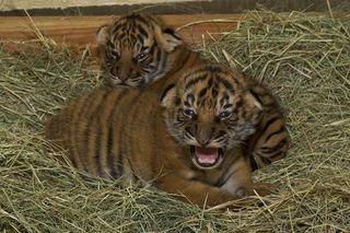 tiger-cubs-110420-02