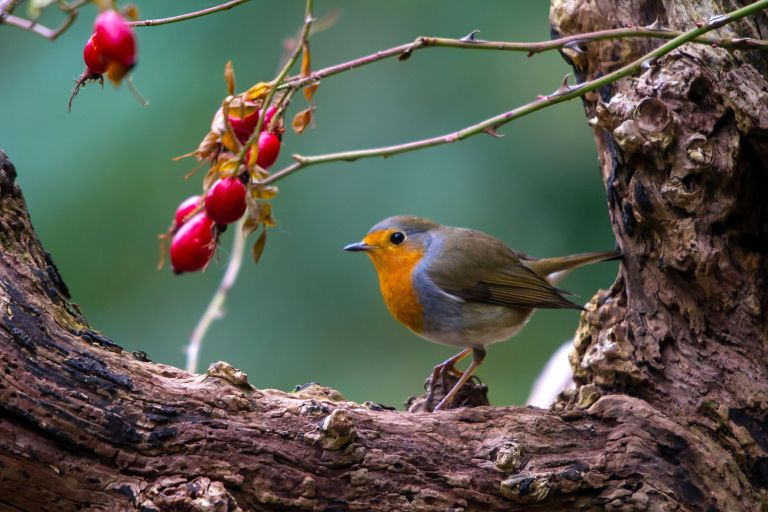 European robin (Erithacus rubecula), with rosehips on an old tree