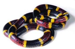 animals, snake bite, snake venom, venomous toxins, pain sensations, pain receptors, painful animal bites, treating pain, different causes of pain, why snakebites hurt, painful animal venom, animal toxins,