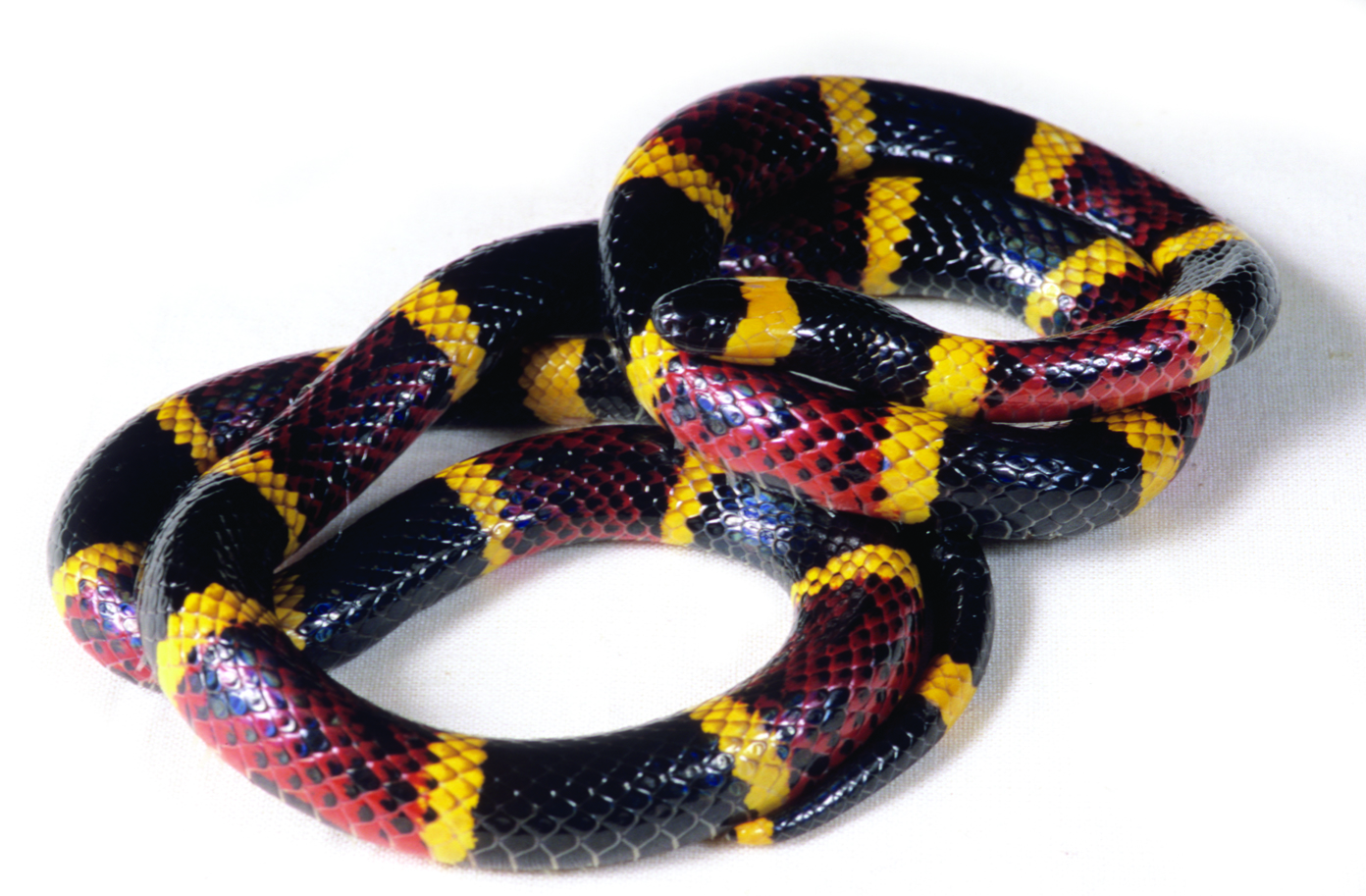 Coral Snakes Colors Bites Farts Facts Live Science
