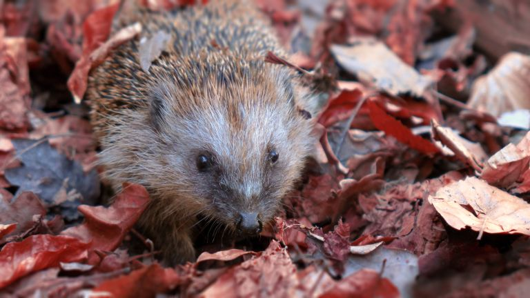 hedgehog in wildlife-friendly garden