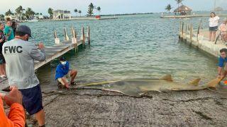 A 16-foot-long (4.9 meters) female sawfish washed ashore in the Florida Keys last week.