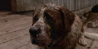 Cujo infected with rabies in Cujo