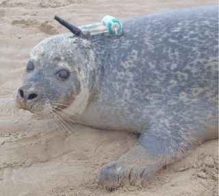 A harbor seal tagged with a GPS phone tag as part of a study of offshore wind farms and seal hunting grounds.