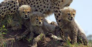 Cheetah cubs in Serengeti