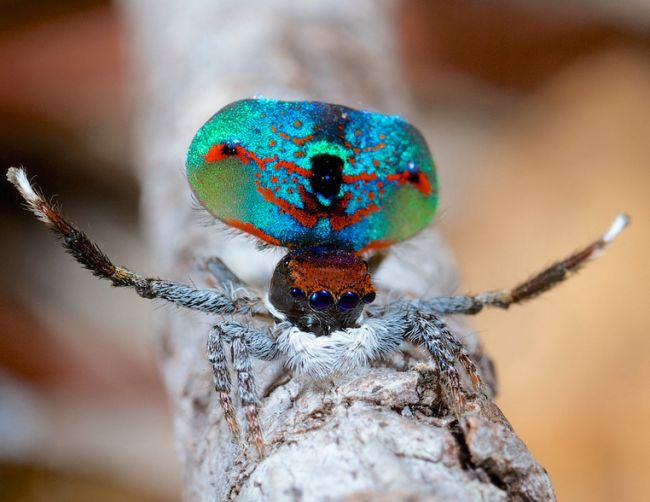 The peacock spider Maratus mungaich. Otto films these spider with the video option on his DSLR, a Canon 7D with a 100 mm macro lens.
