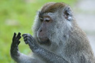Monkey counting its fingers.