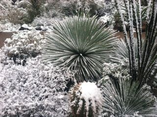 Cacti covered with snow in Tucson