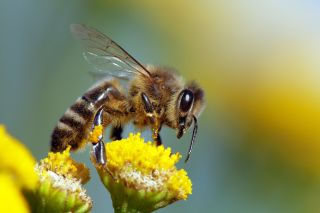 A honeybee collecting nectar/pollen from a flower.