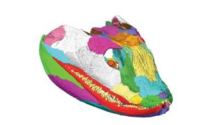 3D Model of Tetrapod Skull