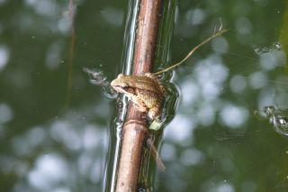 Emei music frog