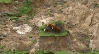 nz-earthquake-cows-stranded-ap-video