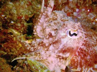 Common cuttlefish in pink