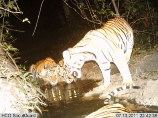 A tigress drinks with her cubs from a watering hole inside Thailand's Western Forest Complex.