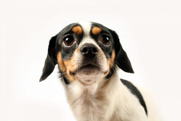 dog depression: Fearful small dog on white background