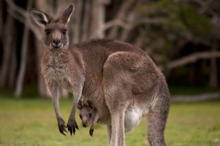 A kangaroo mother and her joey.