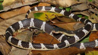 The new krait species Bungarus suzhenae, also known as Suzhen's krait.
