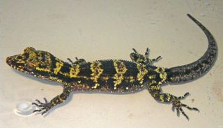 Newly discovered bumblebee gecko with black and yellow stripes