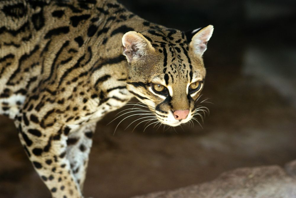 Facts About Ocelots Live Science