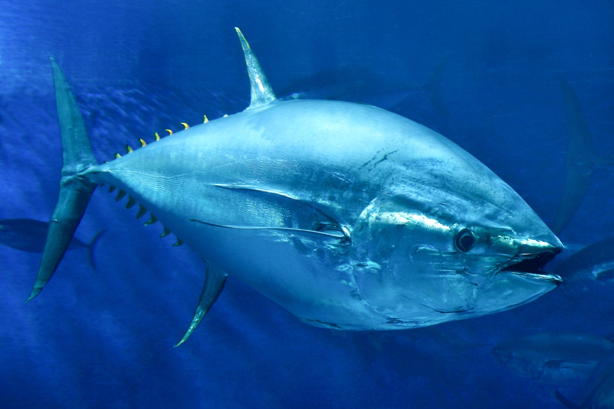 Tuna Fins Are Weirder Than You Think | Live Science